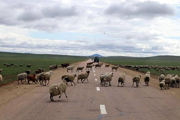 몽골 대초원을 여러시간 동안 운전할 때 무단횡단하는 양떼들을 만나면 반갑기까지 하다. 잠이 깨기 때문이다. 운전사들은 양떼가 지나가기를 기다리거나 클락션을 울려 양떼가 양옆으로 갈라설 때 다시 운전한다.