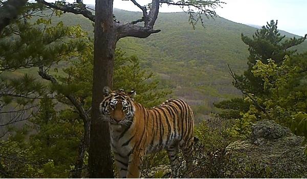 먹이 사냥과 가정 꾸리기로 출산 후 힘든 삶을 살아야 했던 아무르 호랑이 '바바라'.