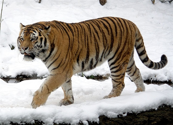 아무르 호랑이 수컷. 벵갈 호랑이와 함께 세계에서 가장 덩치가 큰 종류의 호랑이였으나, 최근 들어 서식지가 줄면서 몸의 크기도 다소 작아지고 있는 것으로 알려졌다.