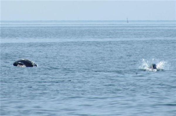 경남 고성 하이면 앞바다 210ha가 '상괭이 보호를 위한 해양생물 보호구역'으로 지정된다.