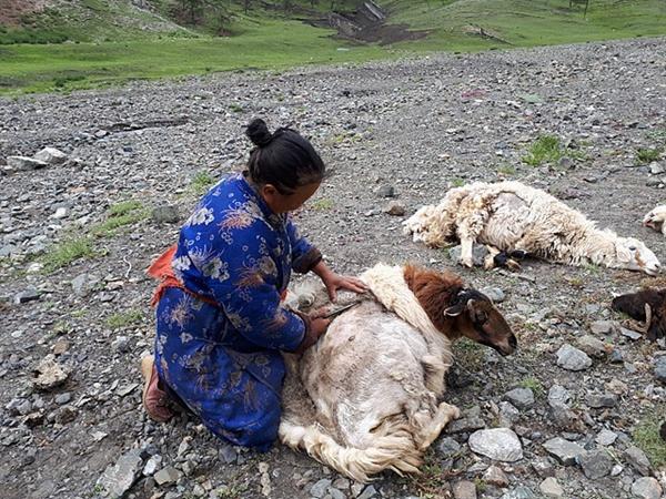 유목민 아주머니가 양털을 깎고 있는 모습
