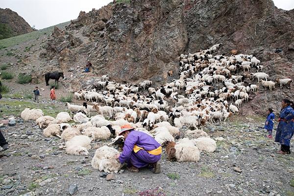 전가족이 동원돼 양털깎는 모습. 도망가는 양을 막기위해 아이들이 산등성이 쪽에서 지키고 어른들은 아래에서 양들을 잡아 사지를 묶어놓고 양털을 깎고 있었다