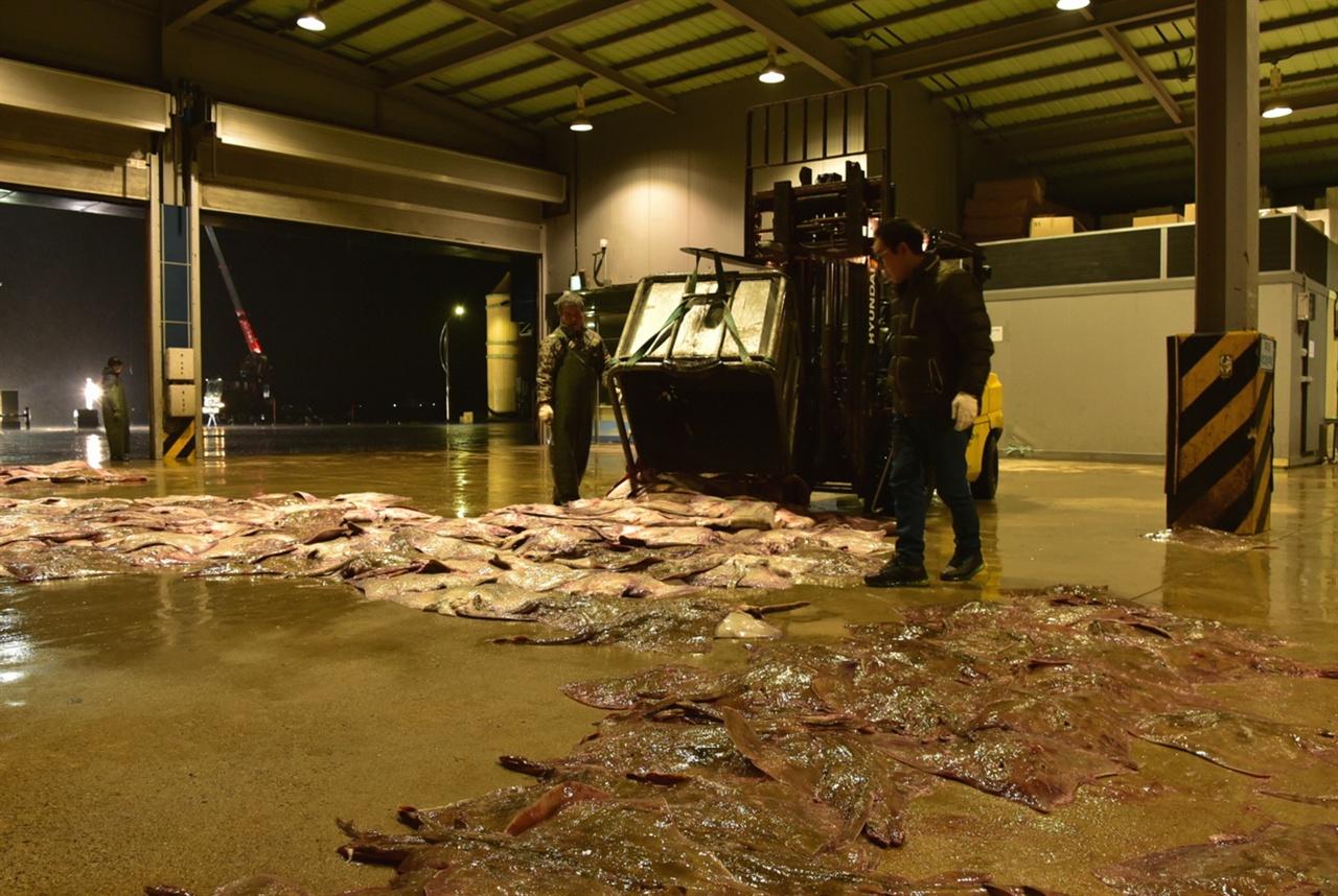 위판장에 도착한 싱싱한 홍어떼  위판장에 도착한 홍어는 무게나 종에 따라 몇 단계에 걸쳐 분류되어 경매상품으로 오른다