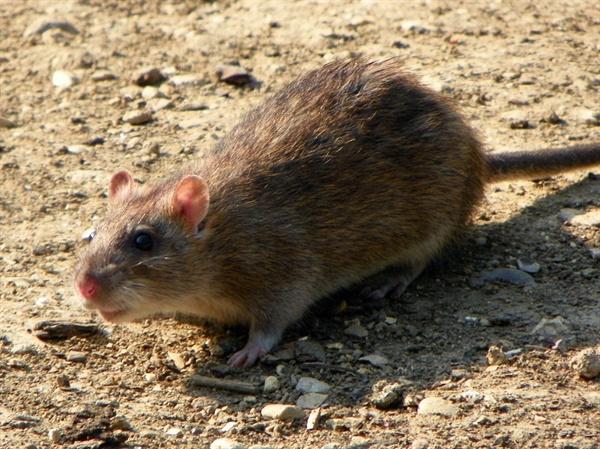 집쥐. 생쥐보다 덩치가 훨씬 크고, 꼬리의 길이가 몸의 길이 보다 조금 작은 편이며 꼬리에는 털이 없다.