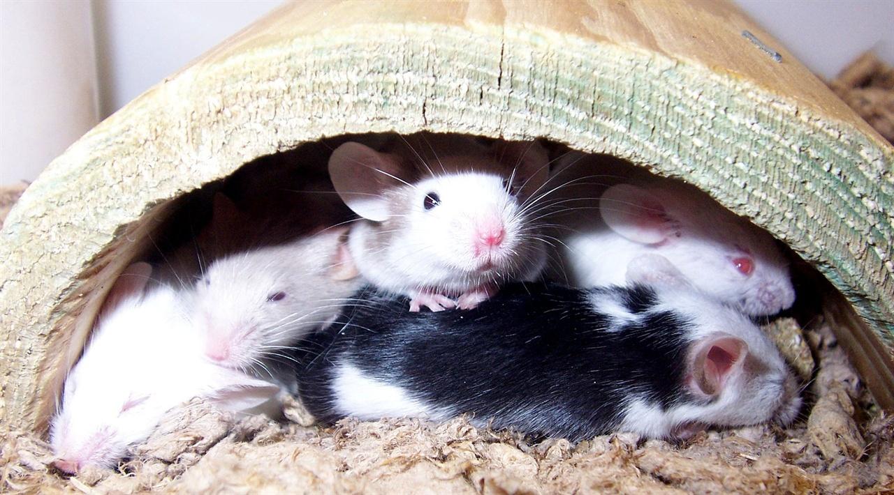 애완 생쥐. 생쥐와 집쥐의 차이는 고양이와 호랑이만큼이나 크다. 한 예로 호랑이와 고양이는 염색체 숫자가 동일하지만, 집쥐와 생쥐는 염색체 숫자부터가 다르다.