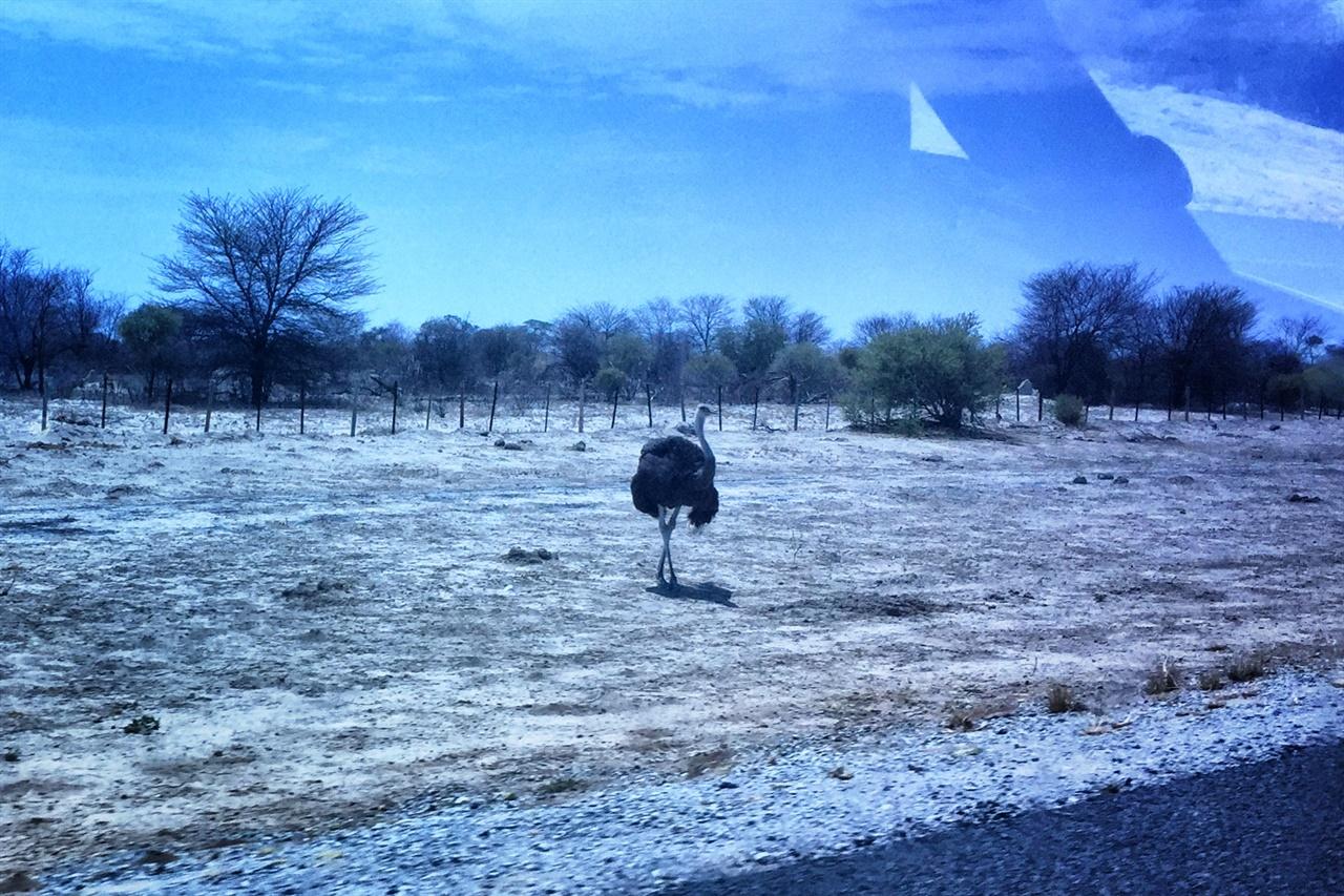 보츠와나 타조 보츠와나에서는 길가를 지나는 코끼리와 기린, 타조를 자주 볼 수 있다