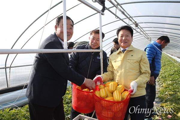 참외의 고장 성주에서 올해 첫 침외 수확을 해 농협에 납품했다.