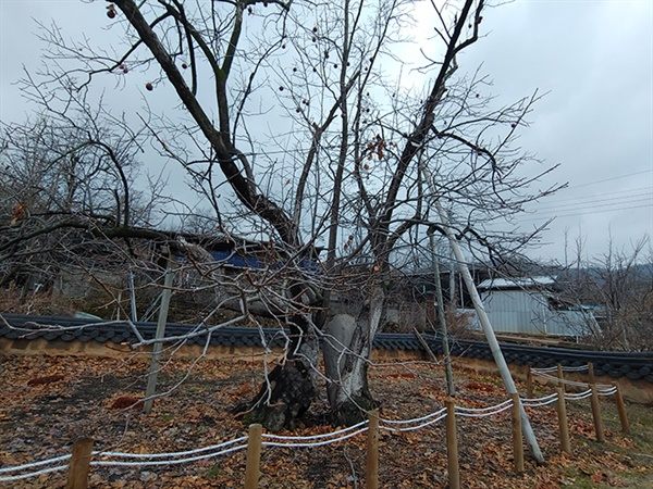 상주의 자랑인 750년된 감나무