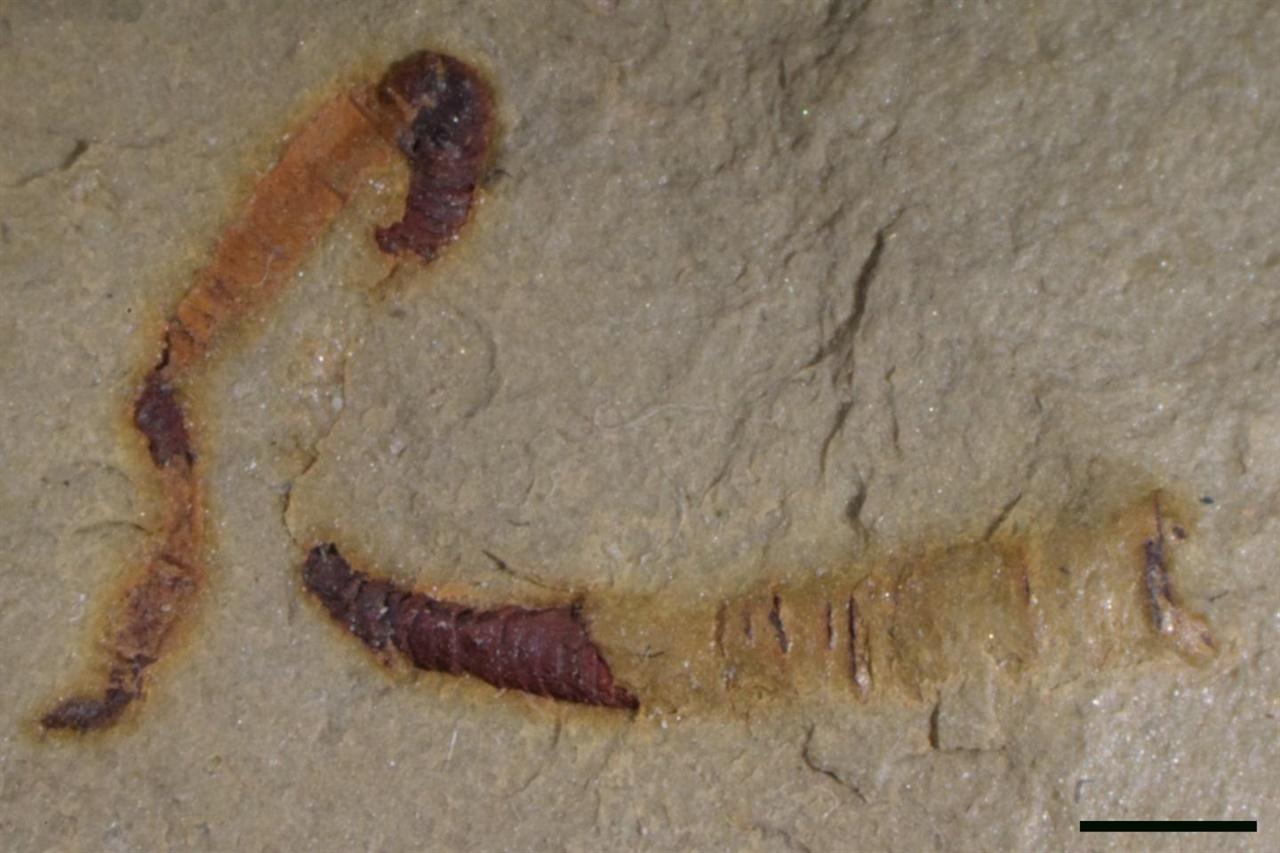 미국 네바다 지역에서 수년 전 발견된 화석. 최근 분석을 통해 원시 동물의 내장으로 밝혀졌다.