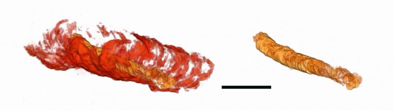 컴퓨터 단층촬영 등을 통해 복원한 원시 동물의 몸체 일부와 몸체 속 내장의 3차원 모습. (왼쪽). 오른쪽 사진은 내장.