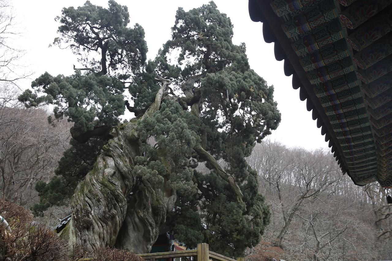 천자암의 곱향나무 쌍향수. 아라비아숫자 88처럼 꼬이고 뒤틀려 있다. 우리나라에서 가장 아름답고 희귀한 나무라는 평을 받고 있다.