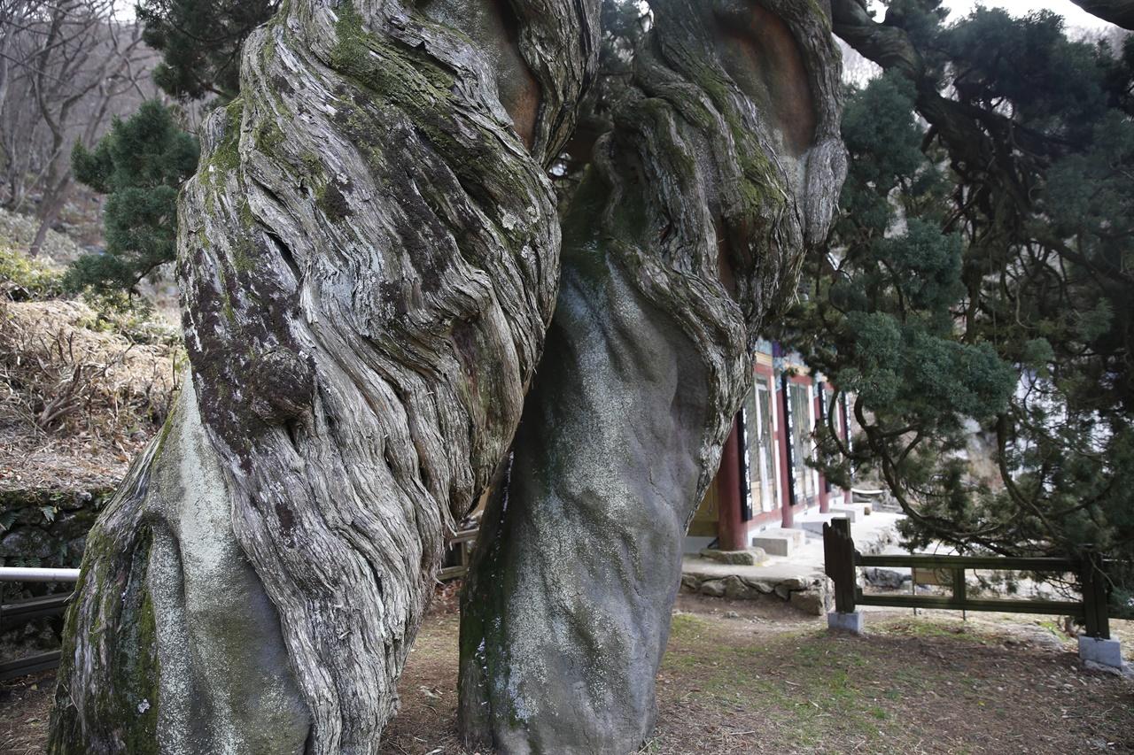 아라비아숫자 88처럼 꼬이고 뒤틀린 곱향나무 쌍향수. 문화재청이 1962년 천연기념물로 지정했다.