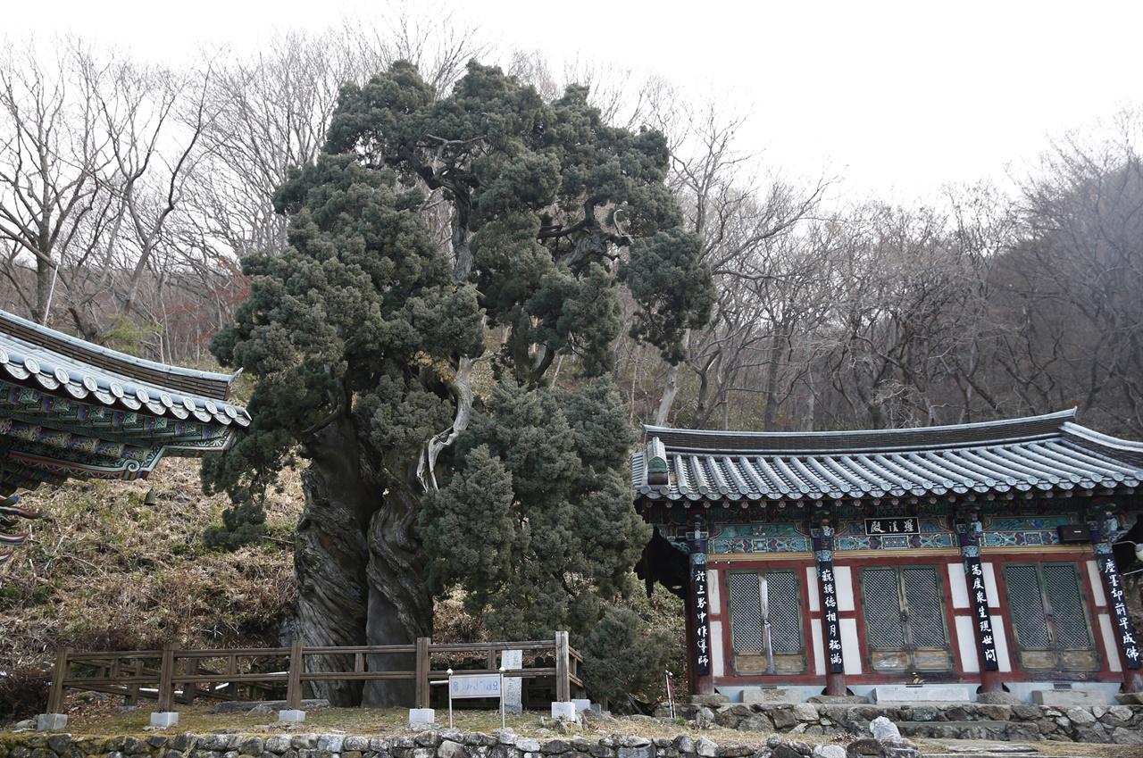 천자암의 곱향나무 쌍향수. 한손을 나무에 대고 흔들면 극락에 간다는 말이 전해진다. 하지만 나무의 훼손을 우려해 울타리를 쳐놓았다.