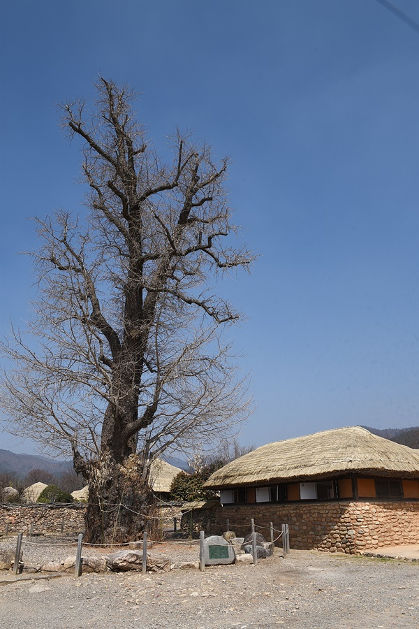 낙안읍성마을 은행나무  마을 중심부의 은행나무는 마을에서 가장 오래된 나무로, 수령 600년을 헤아린다. 초가집들과 어울린 모습이 아름답다.
