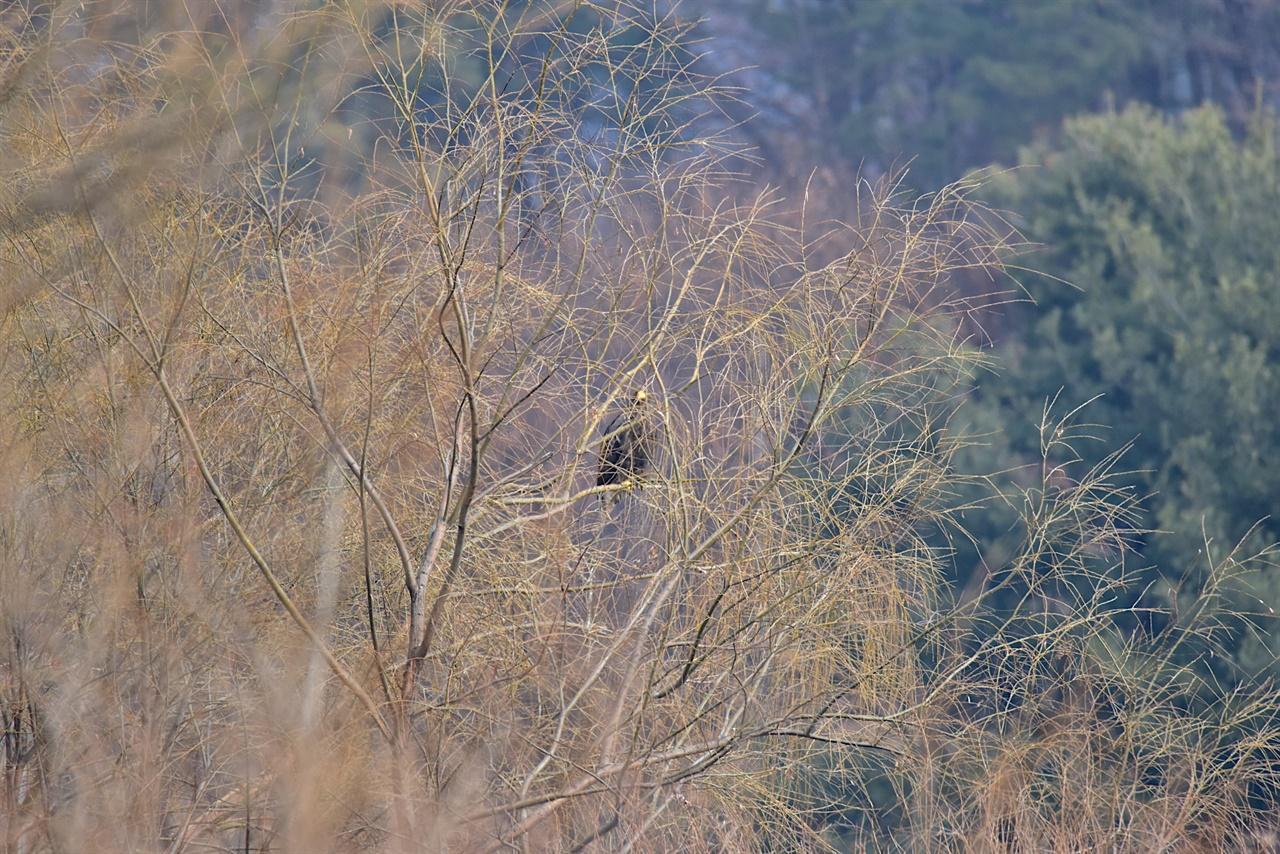 버드나무에 휴식중인 참수리 .