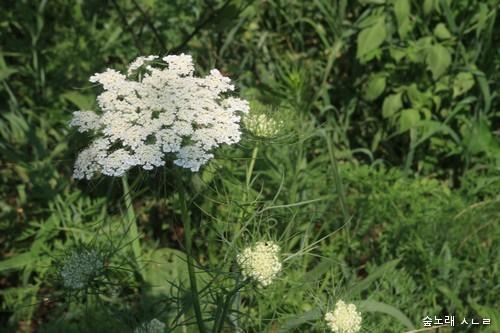 당근꽃. 그야말로 푸짐하다. 나물무침으로 먹을 만하다.