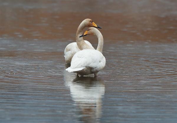 22일 함양 유림면 엄천강의 큰고니 새끼 두 마리.