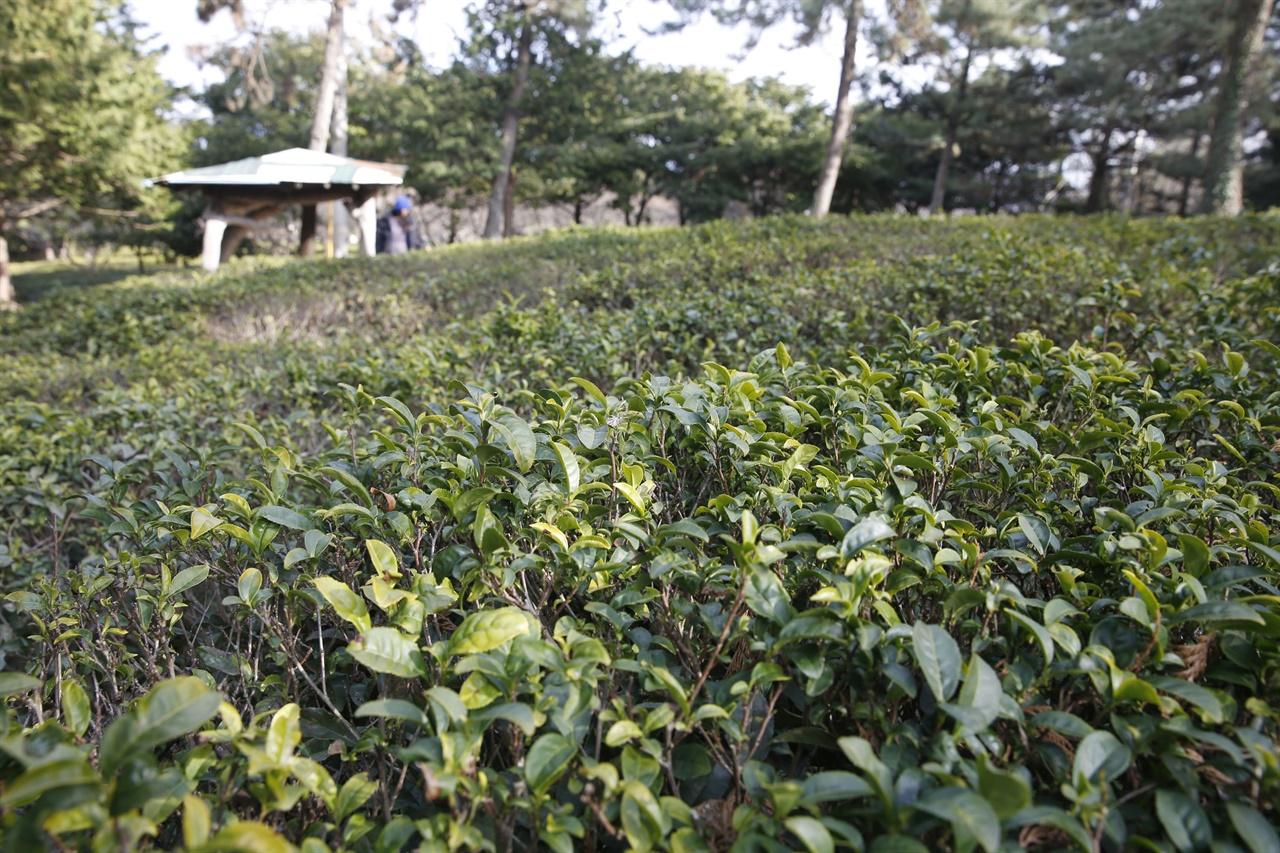 해남 설아다원 풍경. 두륜산과 주작산, 덕룡산이 품은 차밭을 녹나무와 삼나무, 소나무가 둘러싸고 있다.