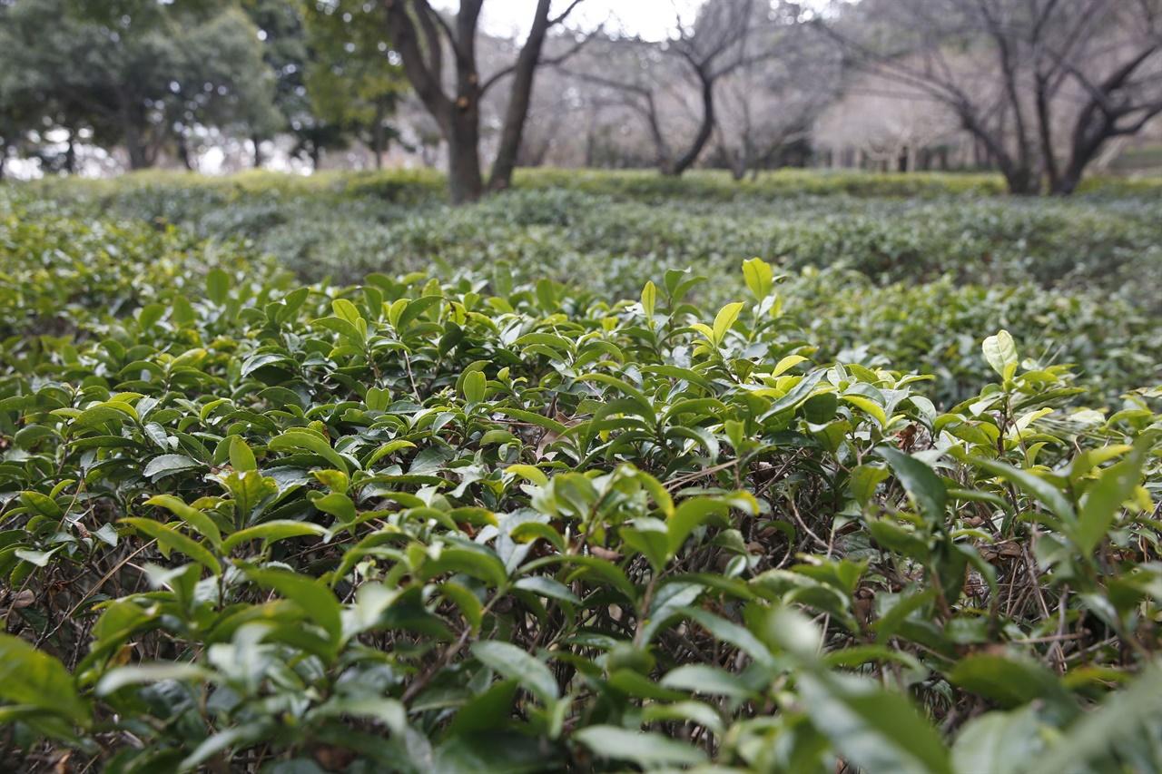 설아다원 차밭에 새잎이 돋아나고 있다. 녹나무, 배롱나무와 어우러진 차밭 풍경이 싱그럽다.