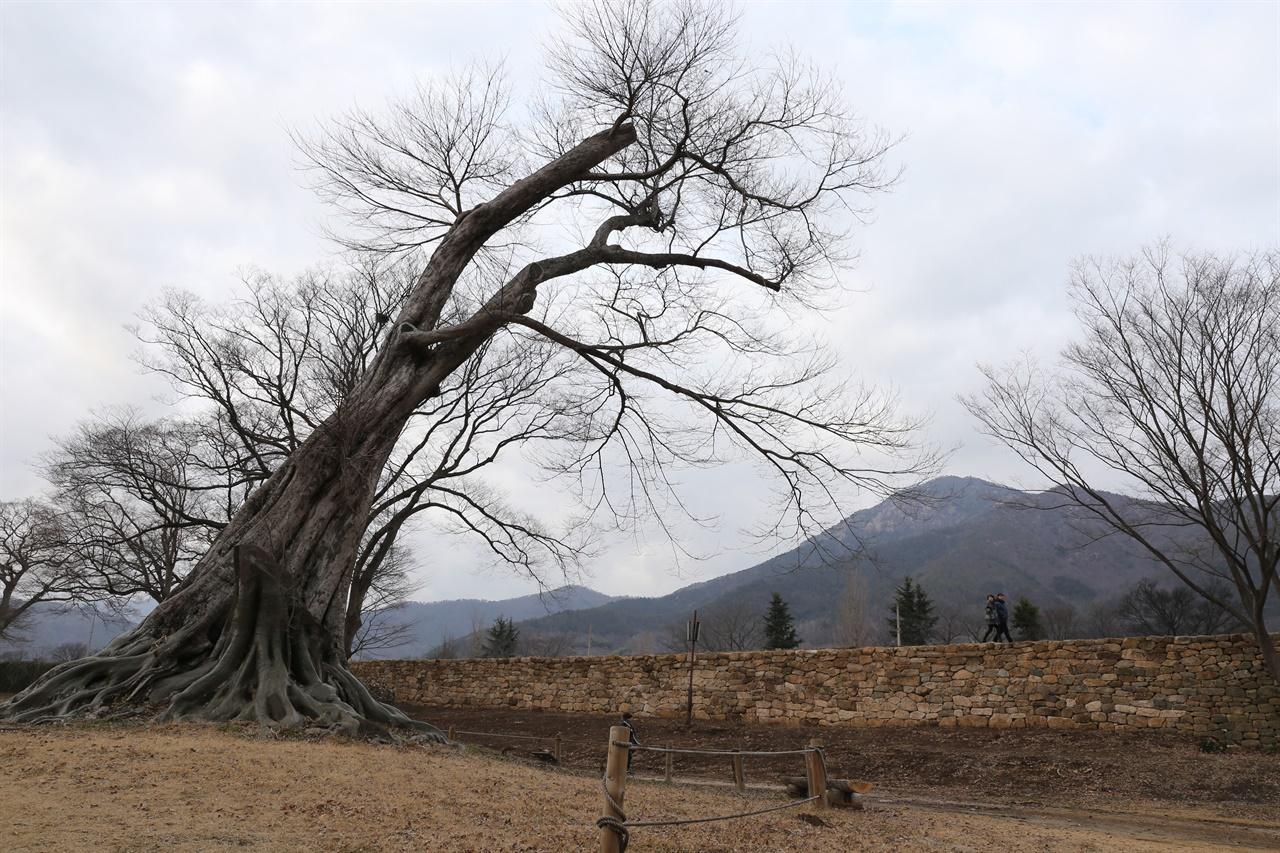 낙안읍성에 있는 수령 500년 된 푸조나무. 이순신 장군이 직접 심었다고 전해진다.
