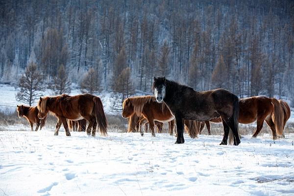 몽골의 말들은 강인하다. 영하 30도 추위에서도 들판에 서서 잔다고 한다. 새벽녘에 눈덮힌 들판에서 앞발로 풀을 헤치며 뜯어먹고 있는 말들. 갈기에 얼음이 얼어있다