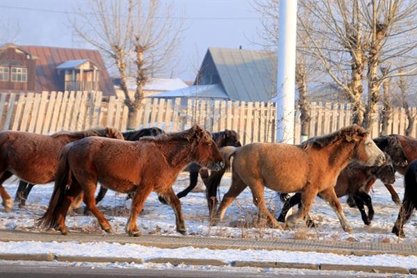 영하 30도에 가까운 새벽에 므릉 시내를 통과하는 말들의 갈기에 얼음이 얼어있어 마치 좀비말들이 걸어가는 듯한 모습을 연출했다.
