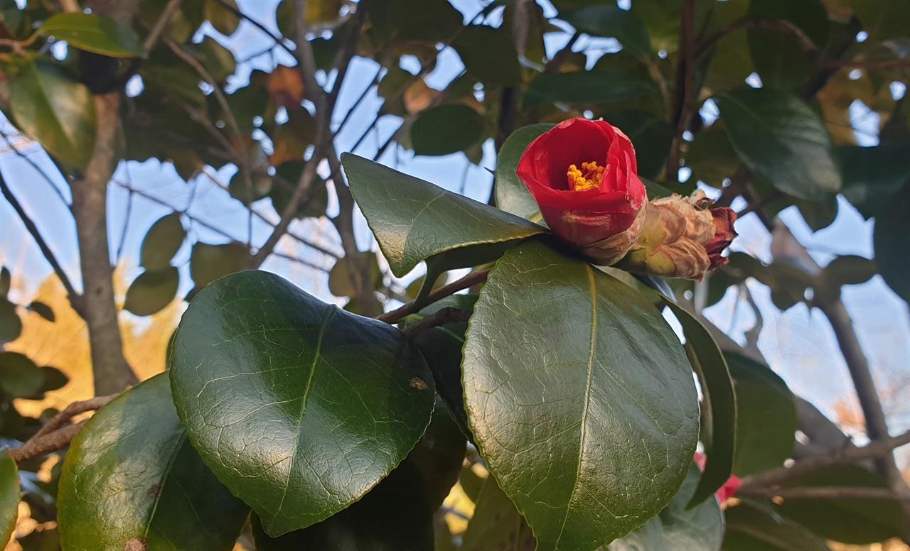 쌍산재에서 만난 앙증맞은 붉은 동백꽃. '누구보다도 그대를 사랑한다'는 꽃말을 지니고 있다.
