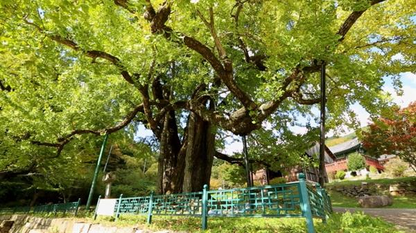 천연기념물 제402호 청도 적천사 은행나무
