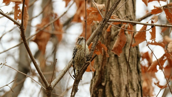 쇠딱따구리 집 앞 나무에 날아든 쇠딱따구리가 나무를 쫄 준비를 한다.