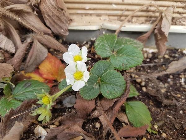 자연적으로 꽃을 피운 딸기  이상 기후로 딸기가  일찍 꽃을 피웠다.