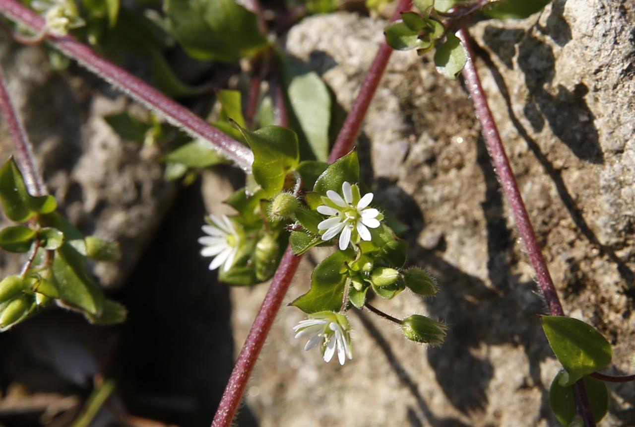 강골마을에서 만난 애기별꽃. 꽃의 생김새가 작고 귀여워 앙증맞다.