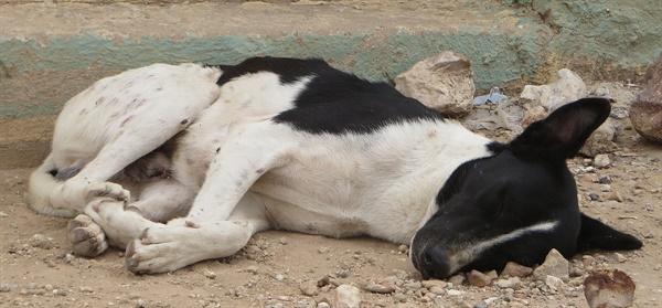 사람을 포함해 개 등 고등동물은 물론 파리 같은 곤충도 잠을 잔다. 동물이 잠을 자는 이유 가운데 하나는 세포 노화를 막기 위한 것으로 추정됐다.