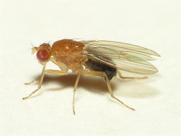 초파리. 동물 실험에서 흔히 사용되는 곤충으로 수면과 관련한 실험 결과 세포 노화를 막기 위해서 잠을 자는 것으로 드러났다.