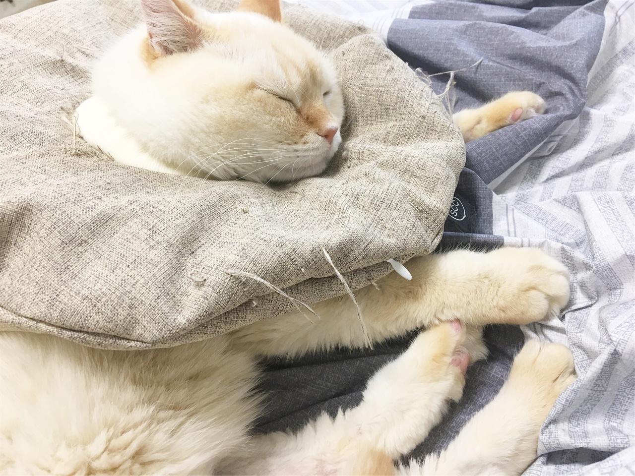 링웜 때문에 넥카라를 쓰고 지냈던 고양이 달이