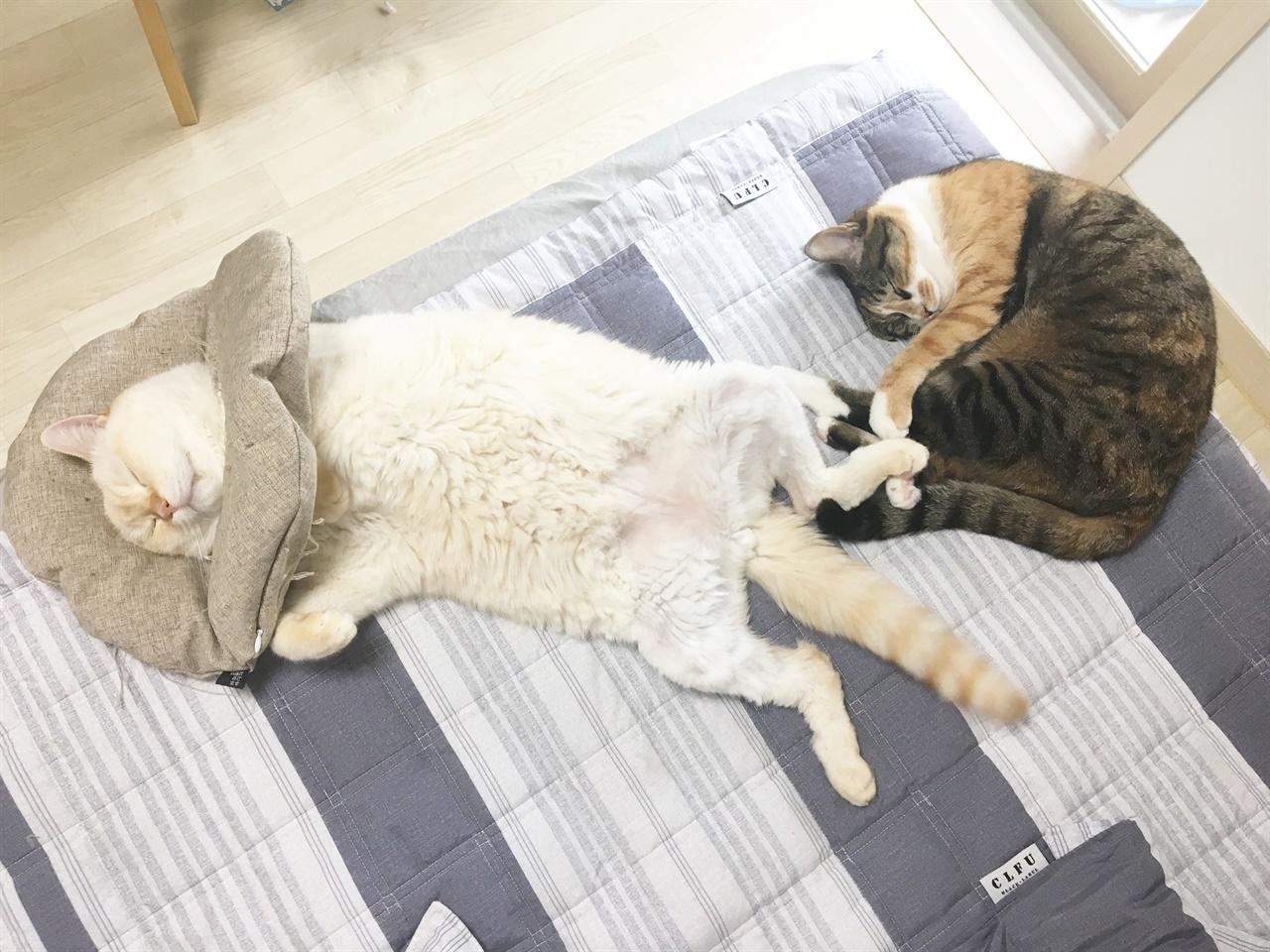 넥카라를 베고 자는 고양이 달이