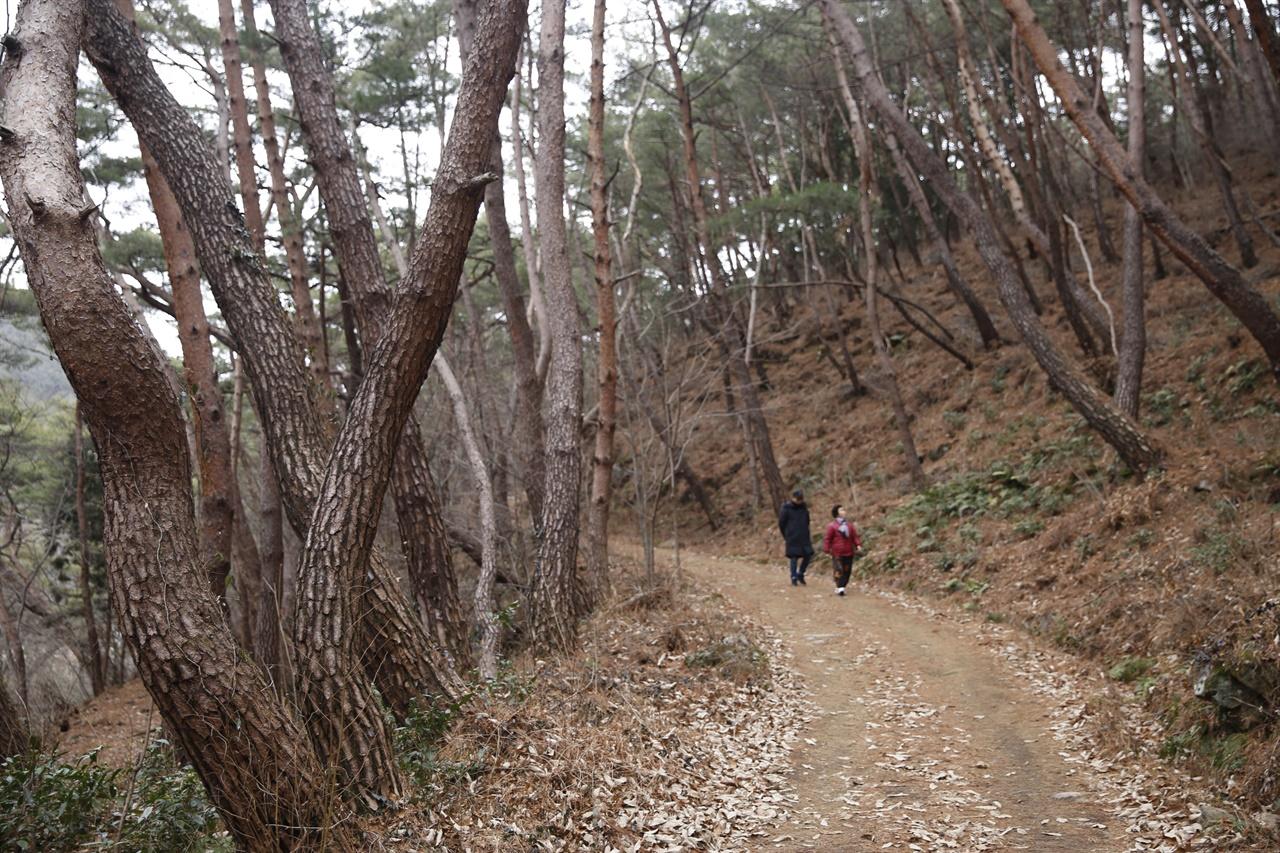지리산 천은사를 둘러싸고 있는 소나무 숲. 숲에 서는 것만으로도 몸과 마음이 편안해진다. 코로나19의 걱정으로부터도 벗어날 수 있다.