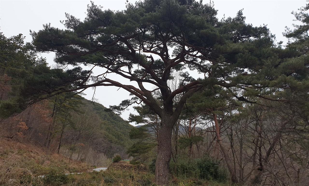 천은사 숲에서 만나는 300살 된 소나무. 예부터 소원을 들어주는 나무로 알려져 있다.