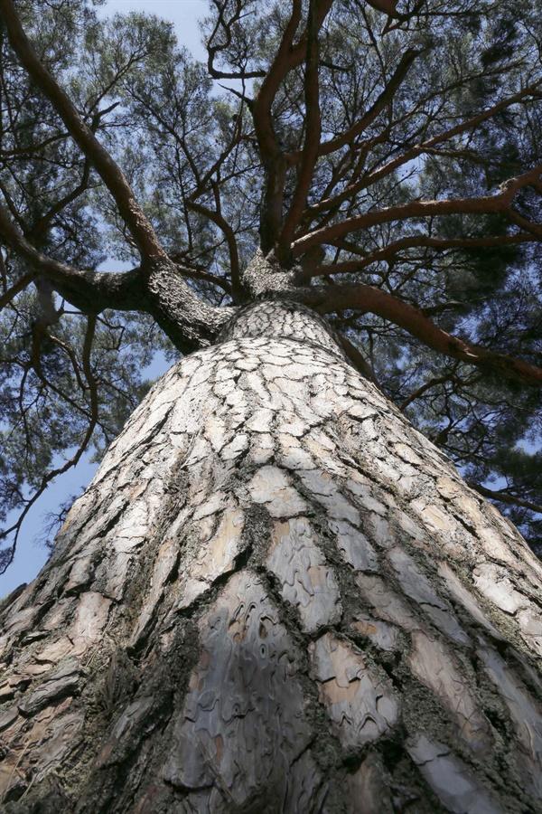 300살 된 소나무. 나무의 키가 10m를 웃돌고, 가슴 높이 둘레가 1m를 넘는다. 주변 풍광까지 돋보이게 해주는 풍치목이다.