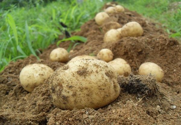 수미감자 물빠짐이 좋은 흙에서 적당한 수분유지를 하면 잘 된다.