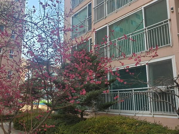 2월 23일 아침. 우리 집 앞에 핀 매화. 코로나19가 휩쓸고 있는 와중에서도 꽃은 피고, 봄은 오고 있다.