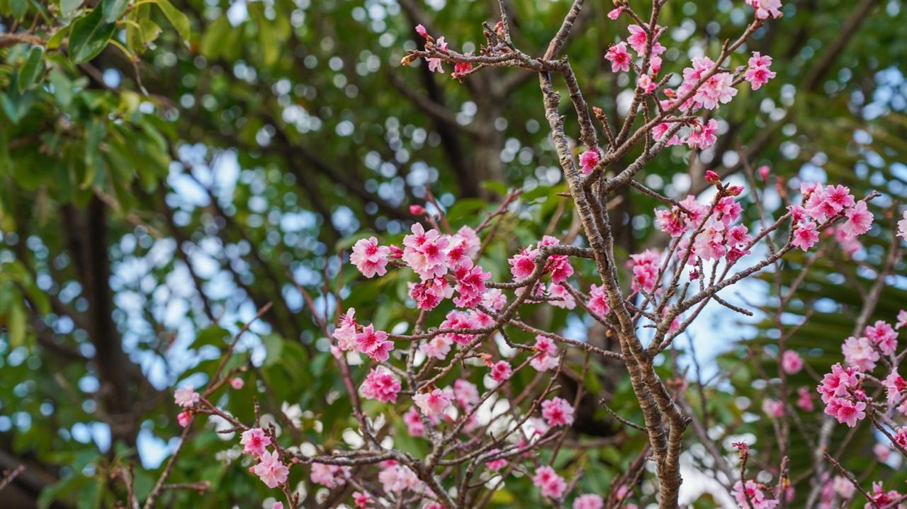 가카즈고대에 오르는 길엔 벚꽃이 피어있었습니다