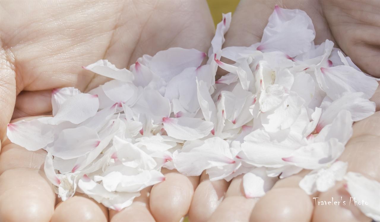 떨어졌어도 여전히 예쁜 아몬드 꽃