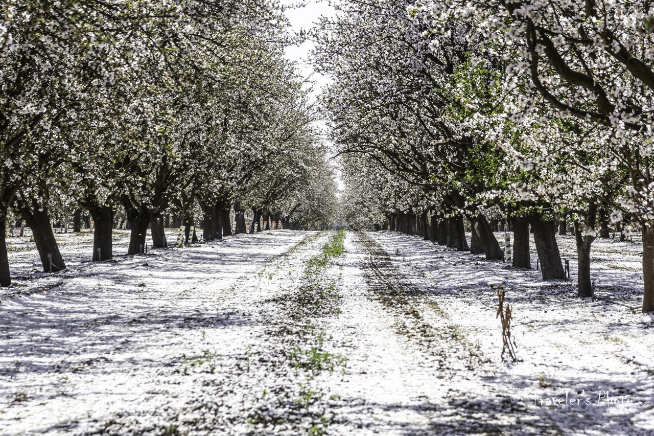 아몬드 농장 농장별로 개화 시기가 조금씩 달라 이미 꽃잎이 많이 진 곳들도 있다