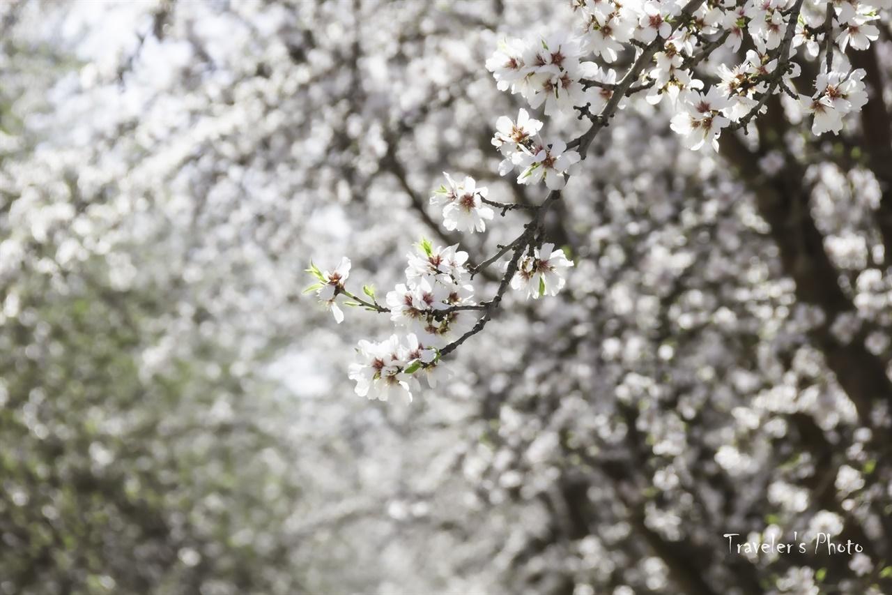 아몬드 꽃 아몬드 나무는 벚나무와 같은 속 식물이다. 따라서 꽃의 모양도 매우 비슷하게 생겼다.
