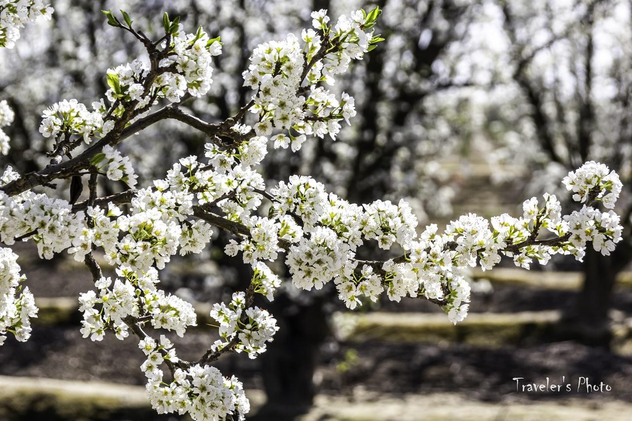 자두 꽃 자두 농장도 상당히 많아 트레일은 흰색과 분홍색을 교차로 볼 수 있다.