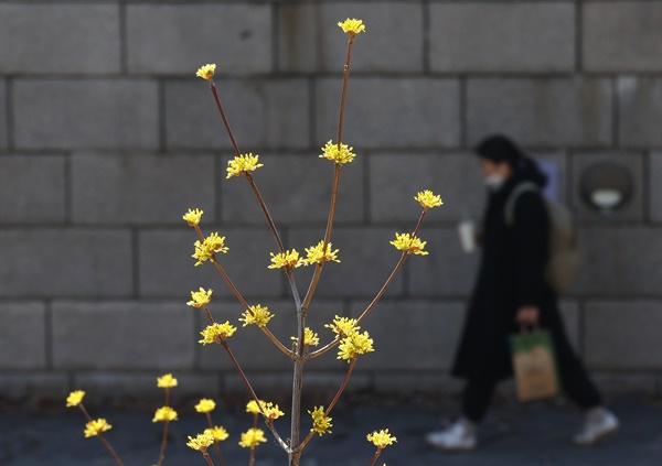 절기상 경칩(驚蟄)인 5일 산수유가 핀 서울 청계천 주변을 시민들이 산책하고 있다.