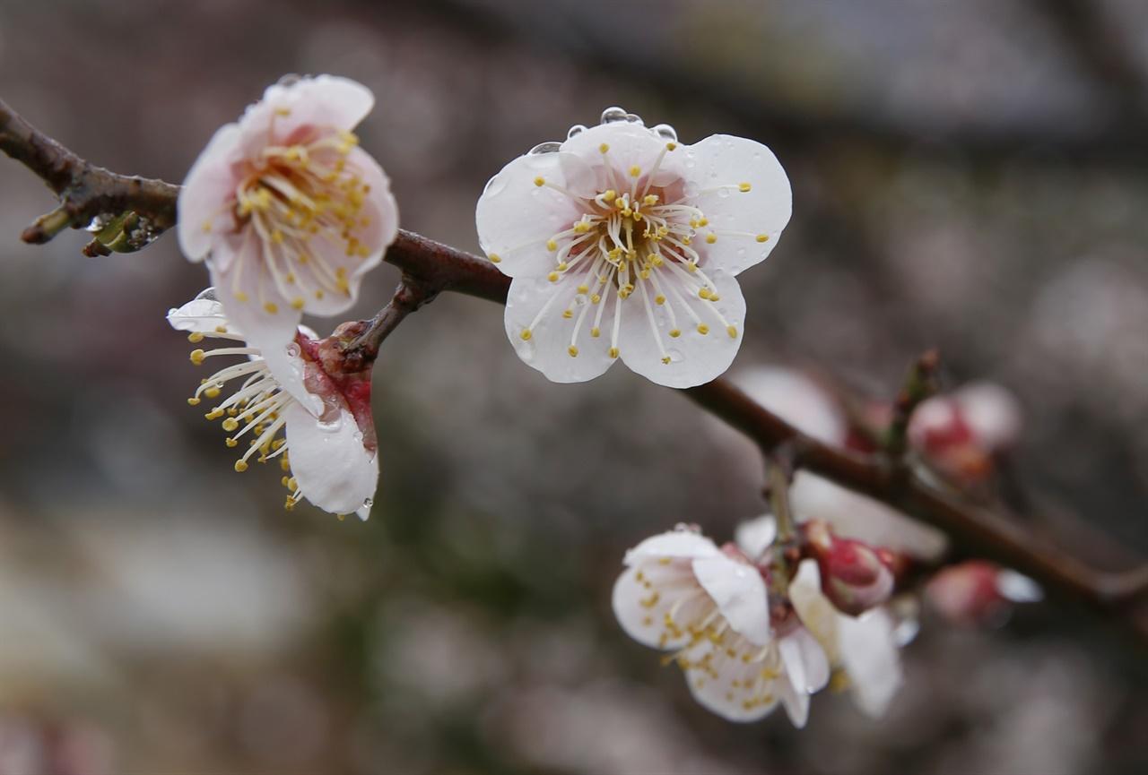 상업적이지 않은 소박한 계월마을의 매화. 봄비가 내린 지난 3월 7일 오후 풍경이다.