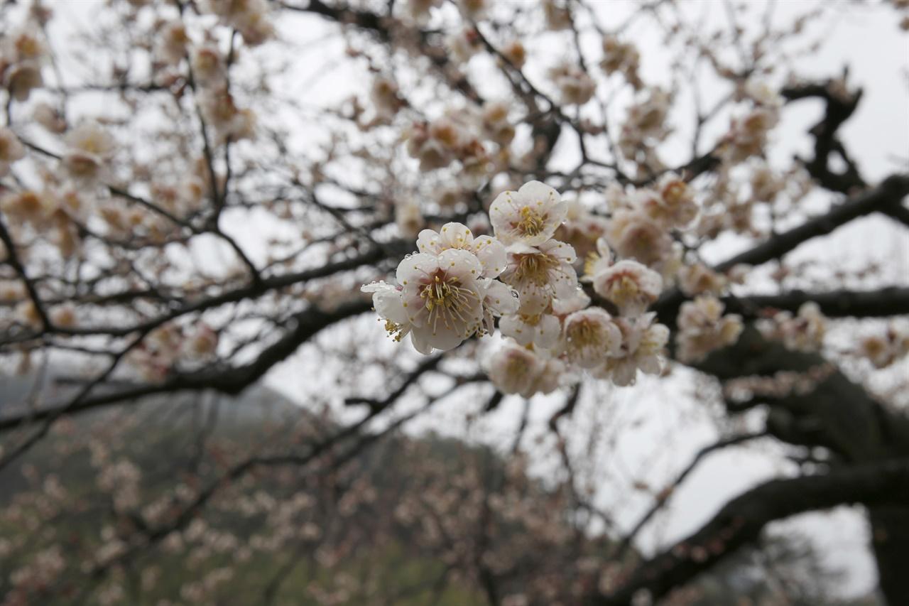 봄비를 맞은 매화. 이택종 선생이 심은 매실나무에 핀 매화다.