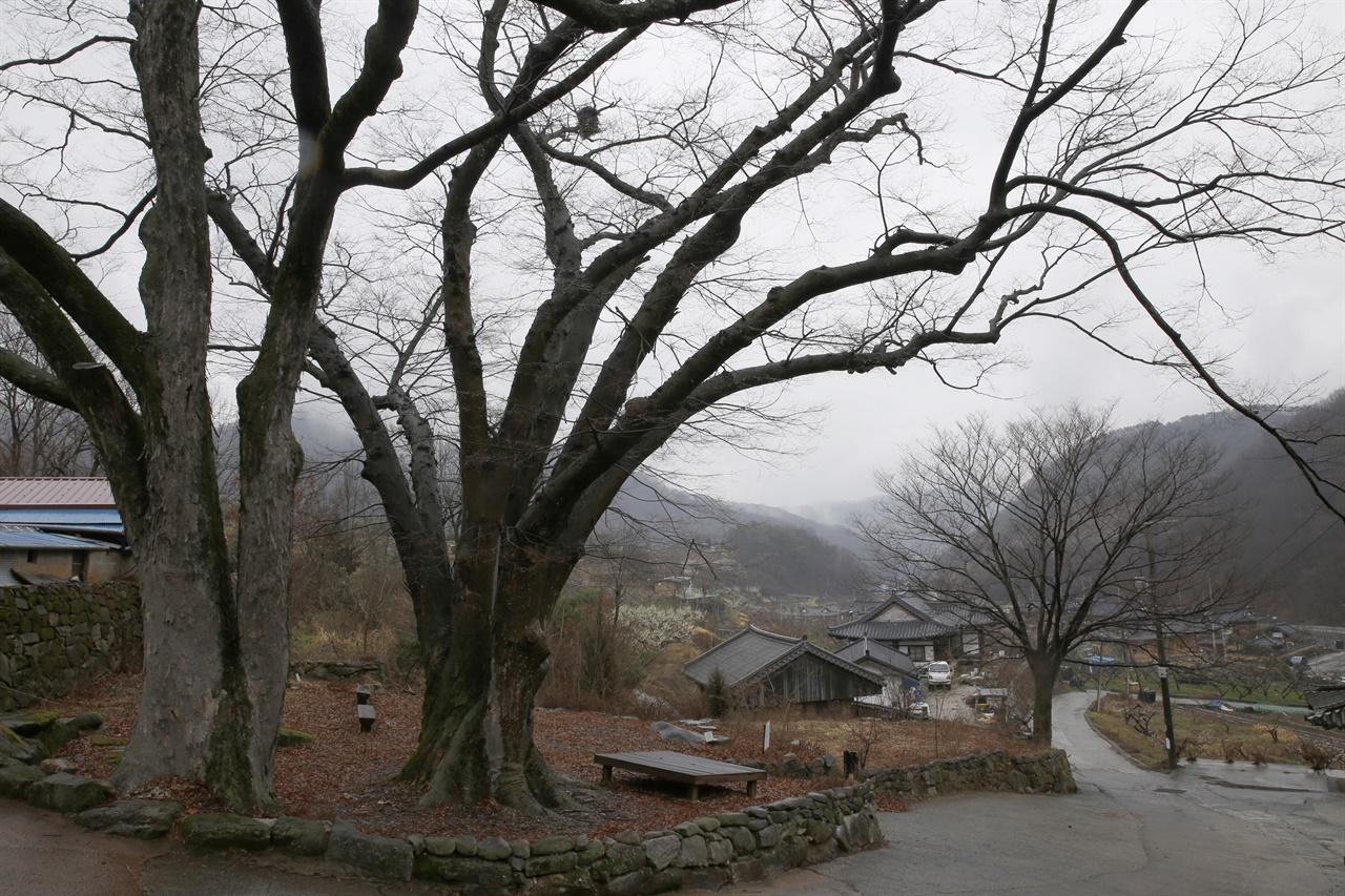 계월마을을 지키고 선 느티나무 고목. 평소 마을사람들의 쉼터로 쓰이고 있다.