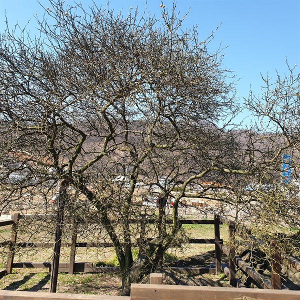 천연기념물 제79호 강화 사기리 탱자나무